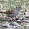 White-throated Sparrow  - 1/7/2018 - Dos Picos County Park