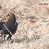Yellow-headed Blackbird  - 1/7/2018 - Rangeland Road, Ramona