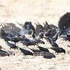 Tricolored Blackbirds and Brown-headed Cowbirds  - 1/7/2018 - Rangeland Road, Ramona