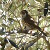 Purple Finch  - 1/7/2018 - Dos Picos County Park