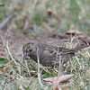 Golden-crowned Sparrow  - 1/7/2018 - Dos Picos County Park