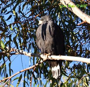 Zone-tailed Hawk - 12/30/2018 - Safari Park parking lot