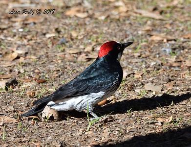 Acorn Woodpecker - 12/30/2018 - Kit Carson Park
