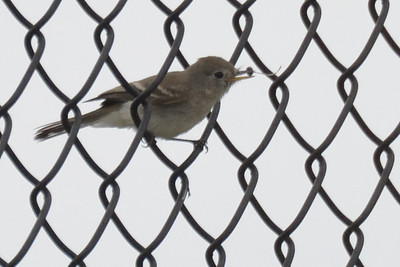 Gray Flycatcher - 9/2/2018 - FRNC