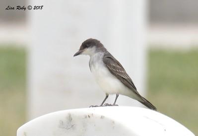 Eastern Kingbird  - 9/24/2018 - FRNC, northeast