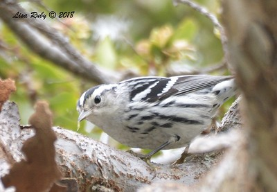 Black-and-white Warbler - 9/24/2018 - FRNC, northeast