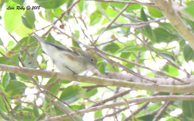Terrible shot of a Chestnut-sided Warbler  - 9/24/2018 - FRNC, northeast