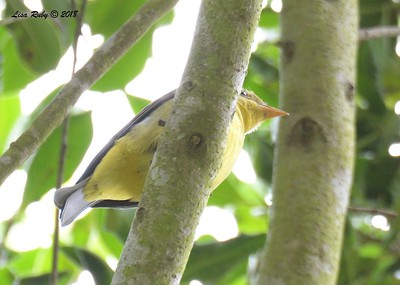 Western Tanager  - 9/24/2018 - FRNC, northeast