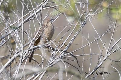 California Thrasher (juvenile maybe?) - 5/13/2018 - Flintkote Ave. Torrey Pines State Reserve