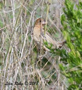 female Blue Grosbeak  - 5/13/2018 - Flintkote Ave. Torrey Pines State Reserve
