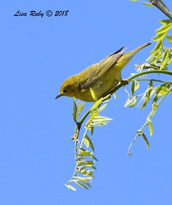 Female Yellow Warbler  - 5/13/2018 - Roselle St. Riparian Area