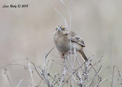 Grasshopper Sparrow  - 5/13/2018 - Penasquitos Canyon West