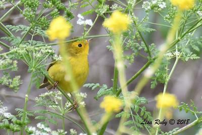 Female Wilson's Warbler  - 5/13/2018 - Flintkote Ave. Torrey Pines State Reserve