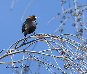 Brown-headed Cowbird  - 5/13/2018 - Roselle St. Riparian Area