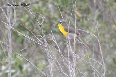 Yellow-breasted Chat  - 5/13/2018 - Flintkote Ave. Torrey Pines State Reserve