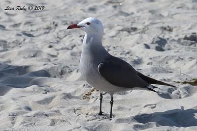 Heerman's Gull  - 12/07/2018 - Hotel Del Coronado Beach