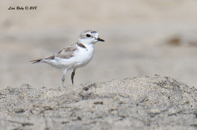 Snowy Plover  - 7/1/2018 - Imperial Beach, walking to Tijuana River Mouth