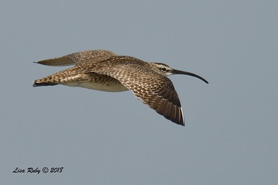 Whimbrel  - 7/1/2018 - Imperial Beach, walking to Tijuana River Mouth