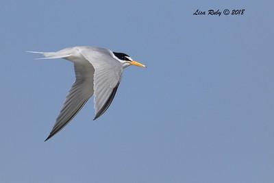 Least Tern  - 7/1/2018 - Imperial Beach, walking to Tijuana River Mouth