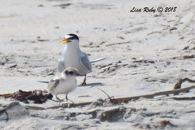 Least Tern chick and parent  - 7/1/2018 - Imperial Beach, walking to Tijuana River Mouth