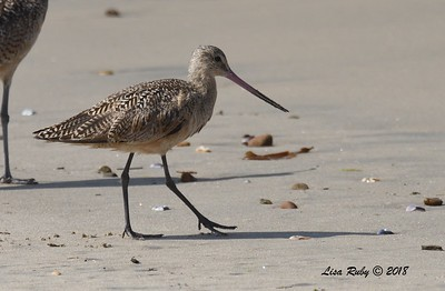 Marbled Godwit  - 7/1/2018 - Imperial Beach, walking to Tijuana River Mouth