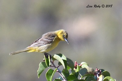 Hooded Oriole - 5/24/2018 - Kitchen Creek PCT East