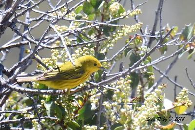 Yellow Warbler - 5/24/2018 - Kitchen Creek PCT East