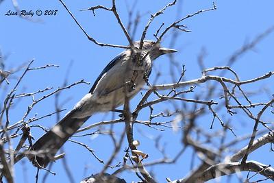California Scrub Jay  - 5/24/2018 -  Cibbett's Flat Campground trail