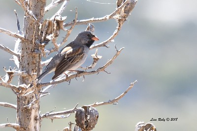 Blck-chinned Sparrow - 5/24/2018 - Kitchen Creek PCT East