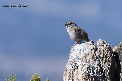 Rufuos-crowned Sparrow - 5/24/2018 - Kitchen Creek PCT East