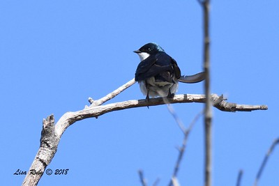 Tree Swallow  - 6/1/2018 - Lake Hodge-Bernardo Bay Trail