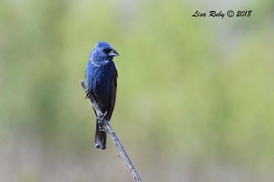 Blue Grosbeak  - 6/1/2018 - Lake Hodge-Bernardo Bay Trail