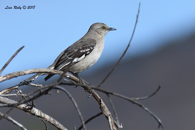 Northern Mockingbird  - 6/1/2018 - Lake Hodge-Bernardo Bay Trail