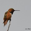 Allen's Hummingbird  - 1/19/2018 - Lake Murray, Cowles Point