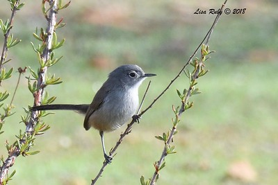 California Gnatcatcher  - 1/19/2018 - Lake Murray, Cowles Point