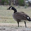 Canada Goose  - 1/19/2018 - Lake Murray, Cowles Point