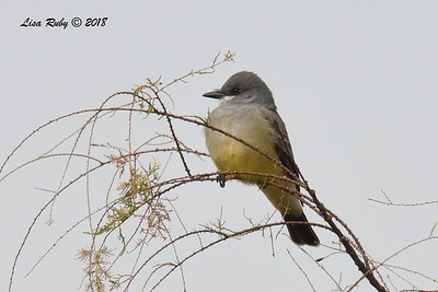 Cassin's Kingbird  - 1/19/2018 - Lake Murray, Cowles Point