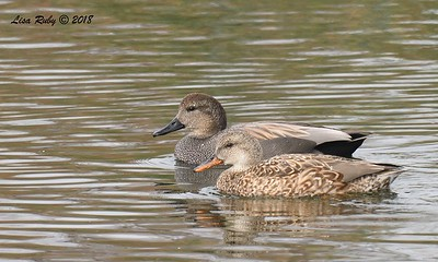 Gadwall  - 1/19/2018 - Lake Murray, Cowles Point