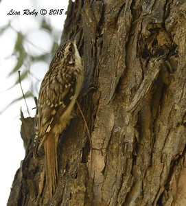Brown Creeper - 1/14/2018 - Lindo Lake