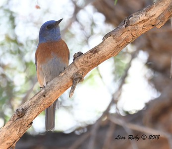 Western Bluebird - 1/14/2018 - Lindo Lake