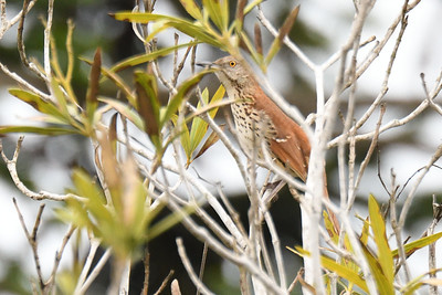 Brown Thrasher - 3/11/2018 - Point Loma residential area