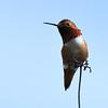 Allen's Hummingbird  - 3/11/2018 - Famosa Slough