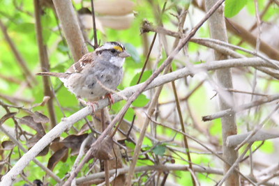 White-throated Sparrow - 3/11/2018 - Point Loma Residential Area