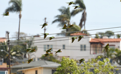 Red-masked Parakeets  - 3/11/2018 - Famosa Slough