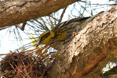 Townsend's Warbler - 3/11/2018 - Point Loma Residential Area