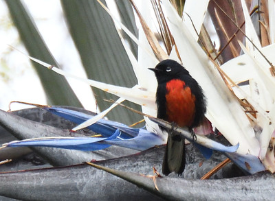 Painted Redstart - 3/11/2018 - Point Loma Residential Area