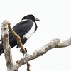 Pied Crow - 3/11/2018 - Point Loma Residential Area