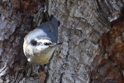 Red-breasted Nuthatch - 3/11/2018 - Point Loma Residential Area