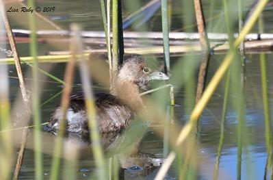 Pied-billed Grebe  - 11/16/2018 - Poway Pond