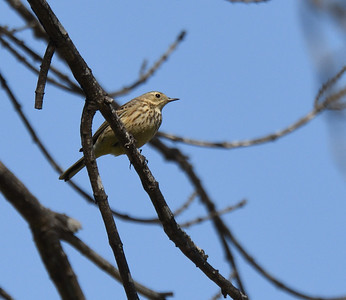 American Pipit in odd spot  - 2/11/2018 - Poway Creek